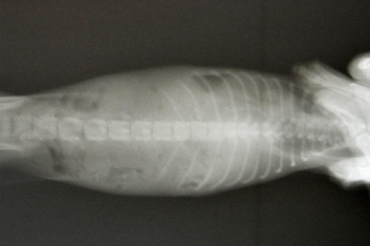 Диафрагмальная грыжа у кота операция