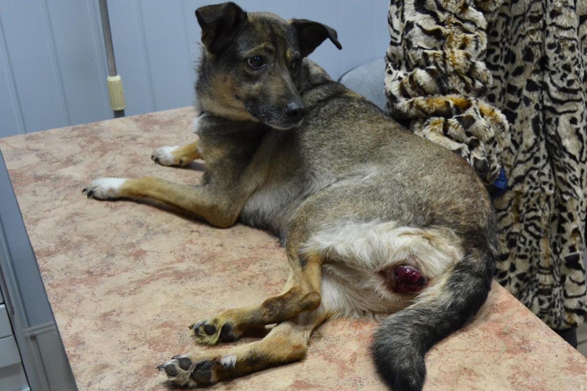 Трансмиссивная венерическая опухоль собак | Ветеринарная ...: http://balakovo-vet.ru/content/transmissivnaya-venericheskaya-opuhol-sobak